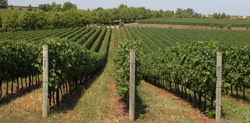 виноградный столб купить